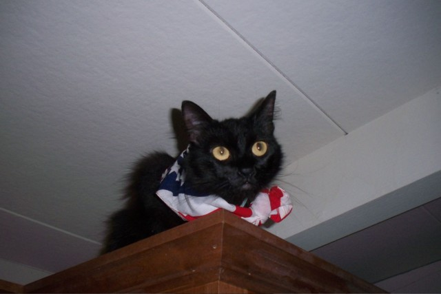 Patriotic Ebony on top of the new cabinets - I suspect this will be her new favorite perch!
