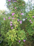 Morning glory volunteer is gorgeous but takes over the yard every summer