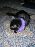 Ebony wearing her purple fluff & bell collar
