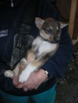 Now for why we couldn't resist this tour...sled dog puppy cuddling! HOORAY! :D