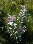 Interesting wildflowers in one of the Yosemite Valley meadows
