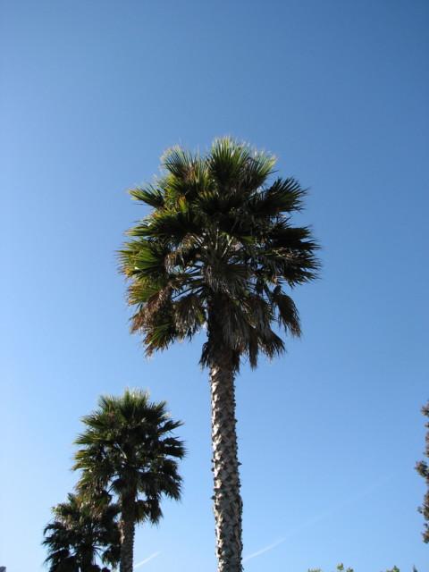 SLO palms