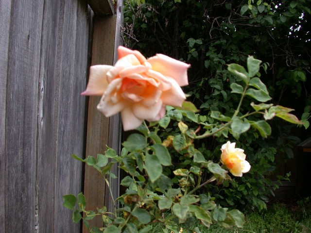 And these roses open as peach, then turn yellow - May 2006