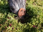 My gnome door in place on the tree at the corner of the front yard - June 2006