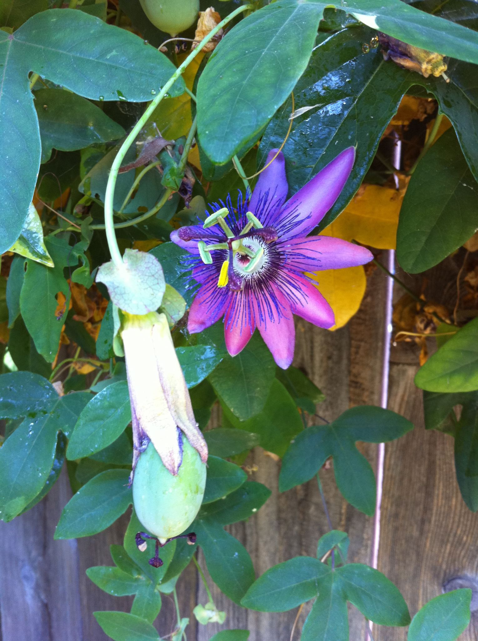 passiflora flower with passion fruit still developing - July 2010