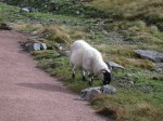 The sheep are obviously used to tourists on the paths everyday, since we didn't seem to interrupt their meal at all... :)