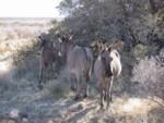 Cute wild burros