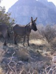 Nicely posing wild burro