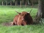 A Highland Cow! so cute!